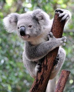 australia koala 123rf
