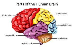 brainparts12